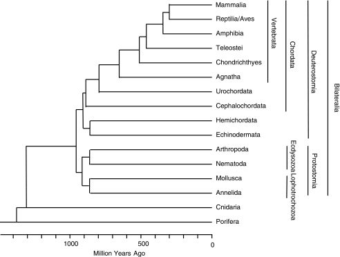 Phylogenetic relationship among animals. Phylogenetic relationship among multicellular animals elucidated by molecular clock methods based on protein sequence data is shown. Only animal groups relevant to this review are included. The divergence times for the Arthropod/Nematoda or Mollusca/Annelida were not analyzed by this method and are arbitrarily shown in this figure