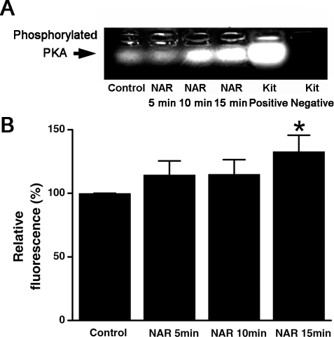 Effect of naringenin on the PKA activity.A, colonic mucosa was treated with DMSO alone (control) or 100 µM naringenin for 5, 10 and 15 min. The positive and negative controls provided by the assay kit are shown in lanes 5 and 6. B, summarized data showing the relative grey value as compared with control. Each column represents the mean±S.E. (*p<0.05).