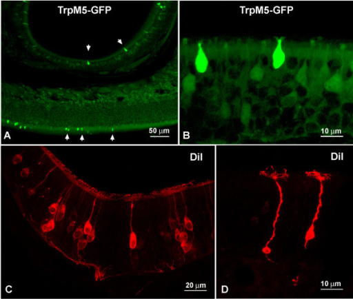 Cell types in the MOE of mice. A Different types of microvillous cells (MV) (arrows) in the MOE labeled by GFP. Note that the olfactory epithelium varies in thickness. B Higher magnification of TrpM5a MV cells. C ORNs retrogradely labeled from the olfactory bulb by DiI. D Typical long slender ciliated ORNs retrogradely labeled by DiI.