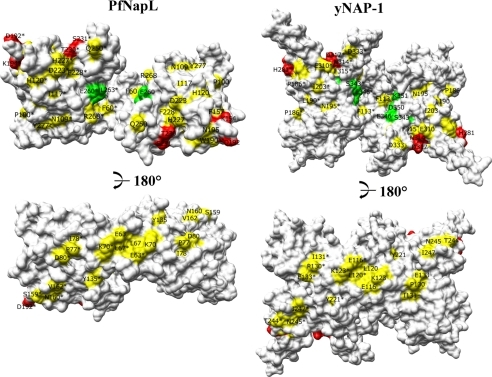 Two views of the surface representation of PfNapL and yNAP-1 dimers. Corresponding residues from the mutagenesis data of hSET are colored green and red. The identical/conserved surface residues within the NAP family are colored yellow.