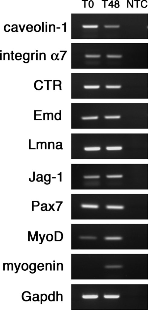 Marker protein levels reflect gene expression in quiescent and activated satellite cells.Total RNA was obtained from quiescent (T0) and activated (T48) satellite cells and transcript-specific primers used to semi-quantitatively amplify the mRNA of markers. Amplification of Gapdh transcript was used as control of the RNA content. Pax7, MyoD and myogenin transcripts levels were included as control of the activation progression. While caveolin-1 and CTR transcripts appeared to be more abundant in satellite cells at T0, mRNA for integrin α7, Emd and Lmna were unaltered. Jagged-1 and MyoD transcript were increased in activated satellite cells, reflecting the protein levels. Myogenin transcript, as expected, was absent in quiescent satellite cells and appeared after 48 hrs in culture. NTC is no-template control.