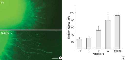 The effects of Fc and nidogen-Fc on the neurite outgrowth of adult DRG explants. (A) DRG explants from adult rats were cultured in collagen matrix, and the culture medium was supplemented with Fc (20 µg/mL) or nidogen-Fc (20 µg/mL) for 40 hr. Explants are immunostained with anti-Tuj1 to label axons. Scale bar; 100 µm. (B) Quantification of mean length of neurites. Values shown are mean lengths±standard deviation.