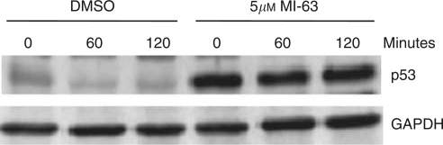 The effect of MI-63 on p53 half-life in RH36 cells. Blocking MDM2 activity inhibits p53 degradation resulting in an increased p53 half-life.