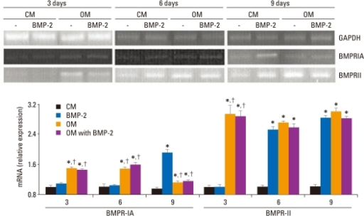 mRNA expression of the BMP receptor in BMSCs. BMSCs were treated with CM or OM with or without BMP-2. mRNA was extracted from cells on day 3, 6, and 9 and analyzed by RT-PCR. GADPH mRNA was used as an internal control to normalize the amount of RNA. The relative expression level of mRNA was depicted as the ratio of the density of mRNA to GADPH mRNA at the same time point. The results correspond to a representative of three experiments. RT-PCR analysis revealed that the osteogenic medium significantly induced BMPR-IA and BMPRII expression in BMSCs after three days of stimulation, while BMP-2 significantly induced BMPRIA and BMPRII in BMSCs after nine or six days of stimulation, respectively. *Compared with CM at the same time point, p < 0.05. †Compared with BMP-2 at the same time point, p < 0.05. CM, control medium; OM, osteogenic medium; BMP-2, bone morphogenetic protein-2; GAPDH, glyceraldehyde-3-phosphate dehydrogenase; BMPRIA, type IA receptor of BMPR; BMPRII, type II receptor of BMPR; RT-PCR, reverse transcription-polymerase chain reaction; BMSCs, bone marrow stromal cells.