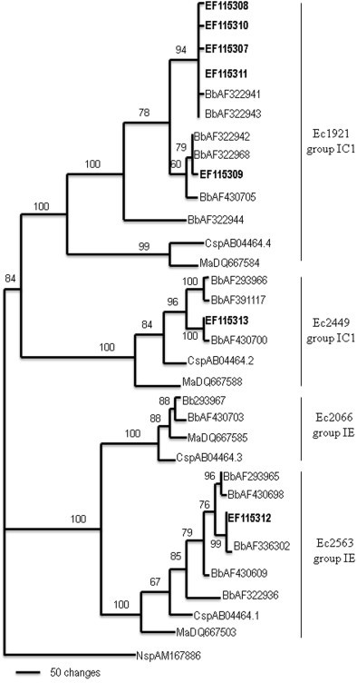 Phylogenetic analysis of group I introns inserted in the LSU rDNA genes of entomopathogenic fungi. The MP tree was generated by parsimony analysis after heuristic searches (TBR option). A bootstrap full heuristic analysis, with bootstrap intervals from 1000 replications and nodes supported in >50% of bootstrap replicates, was generated using the PAUP 4.0 program. Branch lengths are proportional to the number of changes. Seven different intron sequence types (bolded) identified from 57 B. bassiana isolates were aligned with 24 representative intron sequences from Metarhizium anisopliae (Ma), Beauveria bassiana (Bb) and Cordyceps profilica (Csp), and an intron sequence from Naegleria sp. (Nsp) was used as outgroup. The four group I intron insertion positions are shown as Ec1921 (position 4), Ec2066 (position 3), Ec2449 (position 2) and Ec2563 (position 1).