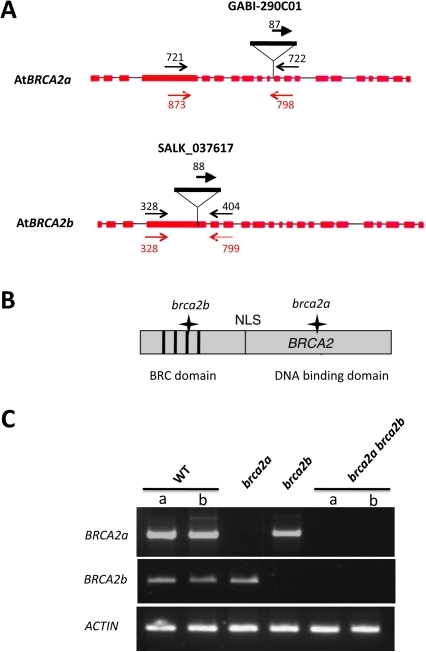 The brca2 single and double mutants.(A) Position of the T-DNA insertions in AtBRCA2a and AtBRCA2b. The structure of the AtBRCA2a and AtBRCA2b genes is represented by shaded boxes (exons) and thin lines (introns). The T-DNA insertion position is indicated. Each primer pair used to identify the mutants by PCR are compiled on the diagram in black and primer pairs used for RT-PCR analyses are given in red; their localization is correct but not to scale. (B) Schematically represented Brca2 protein with the position of the BRC repeats and the NLS relative to the T-DNA insertions, as indicated by a star. For convenience, and because they share 94.5% of identity, a single Brca2 protein is represented. (C) RT-PCR analysis of AtBRCA2 transcripts in the single and double brca2 mutants. RNA was extracted from young floral buds of wild-type plants (2 different plants, a and b) as well as of brca2a, brca2b and brca2a brca2b (2 different plants, a and b) mutant plants and was then reverse-transcribed. Double-stranded cDNAs were then PCR-amplified using the primer pairs represented in red in Figure 1A. The constitutive ACTIN gene transcript was used as a control.
