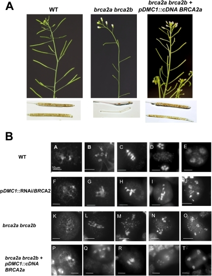 Meiotic defects in brca2a brca2b mutant plants and in wild-type Brca2-inactivated plants.(A) Wild-type and brca2 double mutant plants exhibt no growth defect except for sterility. Chloralhydrate discolored siliques are full of seeds in wild-type plants in comparison with the discolored siliques of the brca2 double mutant plants. (B) Observation of meiocytes by DAPI staining in Brca2-deficient plants, transformed or not with the full length cDNA of AtBRCA2a, and in brca2a brca2b homozygous double mutant plants. (A–E) Different stages of meiosis in the wild-type plants. Meiosis is normal. (A) Prophase I stage, (B) diakinesis, the five bivalents are attached by a chiasma, (C) metaphase I with five aligned bivalents, (D) anaphase I, bivalents segregate into two sets of five univalents, (E) anaphase II, with four groups that contain five chromosomes each after sister chromatid separation. (F–J) Different stages of meiosis in wild-type plants transformed with the pDMC1::RNAi/BRCA2 construct. (F) Prophase I, (G) no normal diakinesis phase (H) metaphase I with condensed and entangled chromosomes, (I) anaphase I, with entangled and stretched chromosomes. (J) Anaphase II, with bridges extending between chromosomes. (K–O) Different stages of meiosis in brca2 double mutant plants. (K) Prophase I, (L) anaphase I, entangled and stretched chromosomes. (M) Metaphase II with entangled chromosomes. (N) anaphase II, fragmentated chromosomes. (O) telophase II with chromosome missegregation. (P–T) Different stages of meiosis in brca2 double mutant plants, transformed with the pDMC1::cDNA AtBRCA2a. Meiosis is restored to normal. (P) Prophase I stage, (Q) diakinesis, (R) metaphase I, (S) anaphase I, (T) anaphase II. Bar 10 µm.