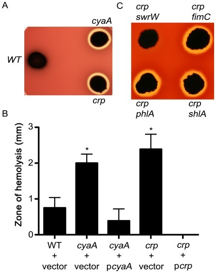 effect of serratia marcescens pilli on red blood cells Decarboxylase activity of serratia marcescens depending on ph and  human blood system, harmful effects could be  the cells were removed by centrifugation.