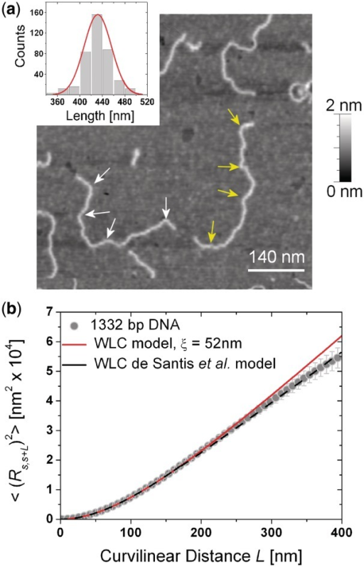(a) Representative AFM topography of the target DNA. It shows the persistence of bends at few locations along the molecular backbone—marked by arrows—suggesting the presence of a significant intrinsic curvature at the same places. In the inset is the histogram of contour lengths. (b) Comparison of the experimentally measured end-to-end distance curve with the WLC model predictions for linear (red) and bent (black) chains. The chosen specimen reveals a small but systematic decrease of  at curvilinear distances above 250 nm, ascribed to an overall coiling of the chains with respect to linear DNA of comparable length. The WLC simulations on bent chains are in excellent agreement with experimental data at all curvilinear distances, confirming the key role played by intrinsic curvature.