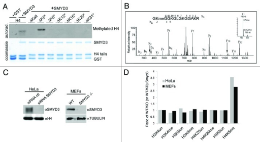 Smyd3 methylates H4K5 in vitro and in vivo. (A) Methylation assay on H4 peptide residues 1–36, and H4 derived peptides with all lysines mutated to arginine (∆Kall) or single lysine maintained and all other lysines mutated to arginine as indicated (ΔK5* refers to a similar H4 peptide with all lysines mutated except K5). (B) LC-MS/MS analysis of Smyd3 methylated recombinant H4. (C) western blot analysis with the indicated antibodies of whole cell extracts (left panel) from HeLa cells expressing the indicated siRNAs and (right panel) wild-type and Smyd3−/− MEFs. (D) Quantitative mass spectrometry of the relative amounts of the indicated histone methylation marks in HeLa cells for Smyd3 positive/Smyd3 depleted cells (gray bars) and in wild type MEFs/ SMYD3−/− MEFs (black bars).