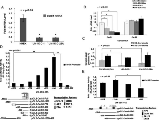 Regulation of CerS1 versus CerS6 mRNA and promoter activities in HNSCC versus keratinocytesA-B.CerS1 mRNA was detected by Q-PCR in primary NHEK (A) or in HPV E6/E7-immortalized skin keratinocytes (B), compared to UM-SCC-1 and UM-SCC-22A cells by Q-PCR.C. Ceramide measurements were performed in immortalized skin keratinocytes compared to UM-SCC-1 and UM-SCC2A cells using LC/MS/MS. Data were normalized to Pi.D-E.CerS1 (D) and CerS6 (E) promoter activities were measured using luminometry, normalizing transfection efficiency to β-gal expression using spectrometry. Transcription factor binding sites were predicted using the TFBind software. Samples were run in duplicates at least three-independent times. The error bars represent the standard deviations.