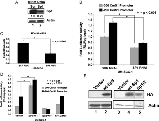 The CerS1 promoter and mRNA activation by Sp1A. Cells were transfected with Sp1 siRNAs and Sp1 protein in UM-SCC-1 was measured by Western Blotting. Beta-actin was used as a control.B-C. Effects of Sp1 siRNAs on CerS1 promoter activity (B) or mRNA (C) were measured by luciferase activity assay or Q-RT-PCR, respectively. Relative quantities were normalized to ribosomal RNA.D.CerS1 promoter activity upon over-expression of Sp1, Sp3 or Sp1/2 mutant over-expression (n = 3).E. HA-tagged proteins were measured upon over-expression of Sp-family proteins in UM-SCC-1 cells with Western blotting. Beta-actin was used as a loading control. Experiments were performed at least in three-independent trials as duplicates. The error bars represent the standard deviations.