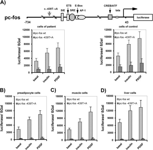 Effect of the identified homozygous c-fos promoter point mutation on c-fos transcription. A) Basal and inducible c-fos promoter activity is dependent on wt c-fos promoter and abrogated by mutated c-fos promoter (pc-fos-c.–439 T→A) in patient and control cells. Data of replicate promoter reporter analyses (n=6) are given as mean (±S.D.; p< 0.05). General transcriptional impairment due to c-fos promoter (pc-fos-c.–439 T→A) mutation in B) preadipocytes (3T3L1), C) muscle cells (A7r5) and D) liver cells (HepG2). Data of promoter reporter analyses are given as mean of replicate experiments (n=6) (±S.D; p<0.05).