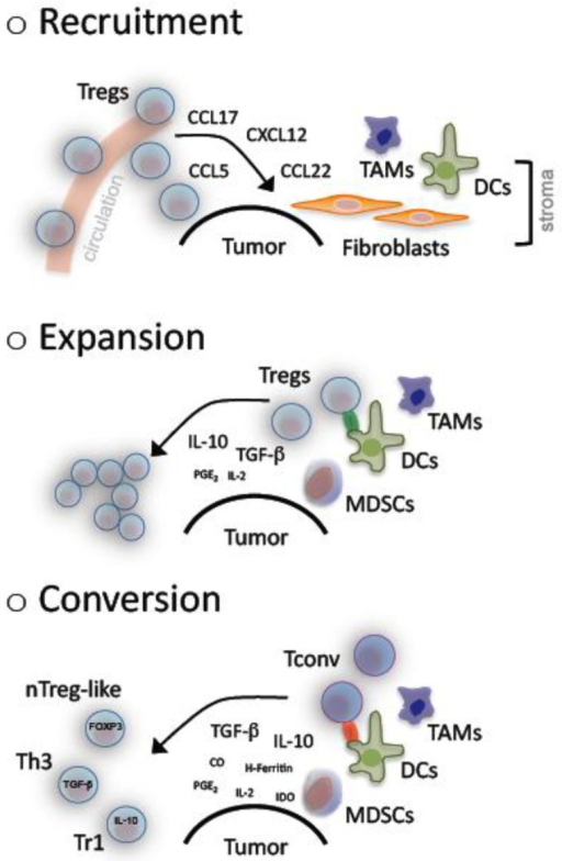Accumulation of regulatory T cells in cancer. A number of mechanisms lead to the observed accumulation of regulatory T cells (Tregs) in cancer. Malignant cells and/or bystanding fibroblasts, dendritic cells (DCs) as well as tumor associated macrophages (TAMs) in the tumor stroma produce and secrete several chemokines, which are chemoattractive for Tregs and result in their recruitment from the circulation away to the tumor site. Pre-existing Tregs can clonally expand upon antigen-specific activation in presence of mainly TGF-β and IL-10 that are regularly found at high levels within the tumor microenvironment. These two cytokines together with a suboptimal antigen presentation that is provided by tolerogenic DCs, TAMs and/or myeloid derived suppressor cells (MDSCs) additionally promote the conversion of conventional T cells (Tconv) into suppressive, adaptive Tregs including naturally occuring (n) Treg-like, T helper (h) 3 and T regulatory (r) 1 cells.
