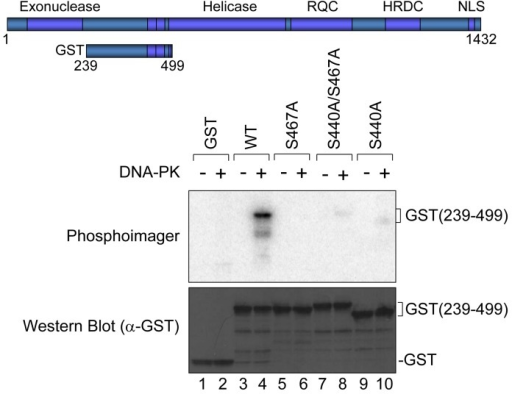 In vitro phosphorylation at Ser-440 and −467 by DNA-PKGST-tagged WRN fragment (239-499) as schematically represented was used. Purified GST or GST-tagged fragment with or without Ala substitution at Ser-440 and/or −467 was incubated with purified DNA-PKcs, Ku 70/86, and activated DNA in the presence of [γ-32P]ATP. Phosphorylation was visualized (upper panel). An immunoblot with anti-GST antibody is shown (lower panel).