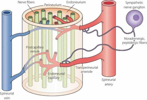 Vascular supply of the peripheral nervous system is | Open-i