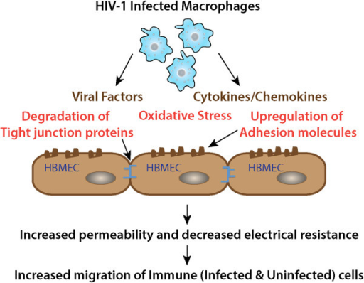 "Invasion of the blood brain barrier. HIV-1 infected immune cells release toxic viral products and inflammatory cytokines leading to degradation of tight junction proteins, oxidative stress and up-regulation of adhesion molecules. This results in the increased permeability of the blood brain barrier and increased migration of immune cells across the barrier. HIV-1 infiltrates the BBB early after infection [29] using HIV-infected monocytic cells as a ""Trojan horse"" for entry into brain [30]."
