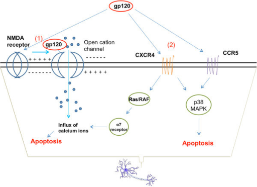 Mechanisms of gp120 neurotoxicity. (1) gp120 can bind to the NMDA receptor and lead to excessive opening of NMDAR-gated cation channels, allowing the influx of calcium ions to toxic levels [54]. (2) gp120 can directly bind to either CCR5 or CXCR4, activating an p38-MAPK mediated signaling cascade that leads to neuronal apoptosis [56]. The gp120-CXCR4 binding also up-regulates the expression of the nicotinic receptor α7, which increases cellular permeability to [Ca2+] influx and contributes to cell death [61].