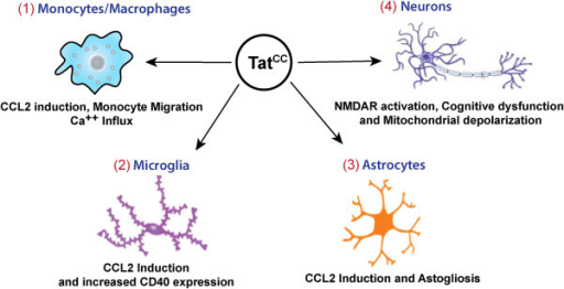 Contribution of the dicysteine motif in Tat to neuropathogenesis. (1) Tat is secreted by infected macrophages and microglia in the vincity of the blood brain barrier resulting in damage to the integrity of the barrier. Dicysteine Tat can act as a ligand on certain chemokine receptors expressed by circulating monocytes (i.e. CCR2, CCR3, CCR5), and promote monocyte migration across the BBB into the CNS [148]. Clade C Tat lacking the intact dicysteine motif fails to attract monocytes in a two chamber migration assay [149]. (2) Dicysteine Tat (TatB but not TatC) also induces higher expression of CCL2 and activation marker CD40 in microglial cells than non-dicysteine Tat [150]. (3) When applied to astrocytes, dicysteine Tat induces higher levels of CCL2 [149] and in HIVE SCID Mouse model astrogliosis is more pronounced in the presence of HIV-1 with an intact dicysteine motif [151]. (4) In neurons, it has been proposed that the Cys31 in the Tat dicysteine motif specifically disrupts the disulfide bond between Cys 744 and Cys 798 on the NR1 subunit of the NMDA receptor, leading to persistent activation of the NMDA receptor [152]. The increase in Tat-mediated apoptosis in dicysteine Tat is also seen in human primary neurons (mediated by increased levels of cleaved caspase-3), in addition to higher levels of ROS and increased levels of mitochondrial depolarization [149]. Primary Human neurons exposed to viral supernatants from HIV-1 with intact dicysteine motif exhibit neuronal apoptosis and HIV-1 SCID mice exposed to the same supernatants have cognitive dysfunction [151].