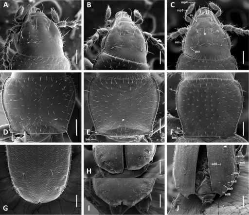 SEM images of body parts, dorsal aspect, of Anillinus species. A–C Head: AAnillinus wisemanensis (TEXAS, Hays County, Wiseman Sink) BAnillinus forthoodensis (TEXAS, Bell County, Talking Crows Cave) CAnillinus acutipennis (TEXAS, Bell County, Talking Crows Cave) D–F Pronotum: DAnillinus wisemanensis (TEXAS, Hays County, Wiseman Sink) EAnillinus forthoodensis (TEXAS, Bell County, Talking Crows Cave) FAnillinus acutipennis (TEXAS, Bell County, Talking Crows Cave) G–J Apical half of elytra: GAnillinus wisemanensis (TEXAS, Hays County, Wiseman Sink) HAnillinus forthoodensis (TEXAS, Bell County, Bell Cave) IAnillinus forthoodensis (TEXAS, Bell County, Talking Crows Cave) JAnillinus acutipennis (TEXAS, Bell County, Talking Crows Cave). ass – anterior supraorbital seta; bm – basal margination; bs – basilateral pronotal seta; cs – clypeal seta; ed6 – 3d discal seta; ed8 – apical seta; eo5-9 setae from the umbilical series; fs – frontal seta; pss – posterior supraorbital seta; ft – frontal tubercle; ls – midlaterall pronotal seta; mp3 – maxillary palpomere 3; mp4 – maxillar palpomere 4. Scale bars = 0.1 mm.