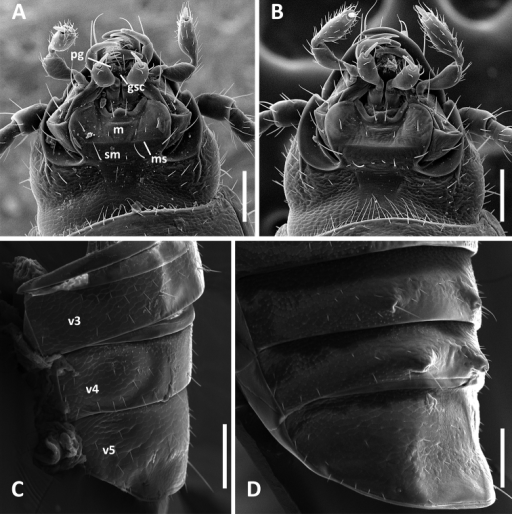 SEM images of structural features of Anillinus species. A–B Head capsule, ventral aspect: AAnillinus forthoodensis (TEXAS, Bell County, Talking Crows Cave) BAnillinus acutipennis (TEXAS, Bell County, Talking Crows Cave) C–D Abdominal ventrites 3-5, males, latero-ventral aspect: CAnillinus forthoodensis (TEXAS, Bell County, Talking Crows Cave) DAnillinus affabilis (TEXAS, Travis County, Tooth Cave). gsc – glossal sclerite; m – mentum; ms – mental-submental suture; pg – paraglossa; sm – submentum; v3-v5 – abdominal ventrites. Scale bars = 0.1 mm.