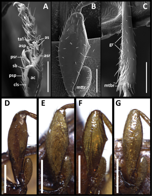 Structural features of legs of males of Anillinus species. Anillinus forthoodensis (TEXAS, Bell County, Talking Crows Cave): A left protibia B left metafemur C left metatibia D–G Left metafemora: DAnillinus affabilis (TEXAS, Travis County, Tooth Cave) EAnillinus wisemanensis (TEXAS, Hays County, Wiseman Sink) FAnillinus forthoodensis (TEXAS, Bell County, Talking Crows Cave) GAnillinus comalensis (TEXAS, Comal County, 7mi W New Braunfels). ac – antennal cleaner; as – articulo-setae; asp – anterior spur; asr – anterior setal row; cls – clip seta; gr – granulation; mtbr – metatibial brush; mttr – metatrochanter; psp – posterior spur; psr – posterior setal row; sb – setal band; ta1 – tarsomere 1. Scale bars: A–C = 0.1 mm;. D–G = 0.2 mm.