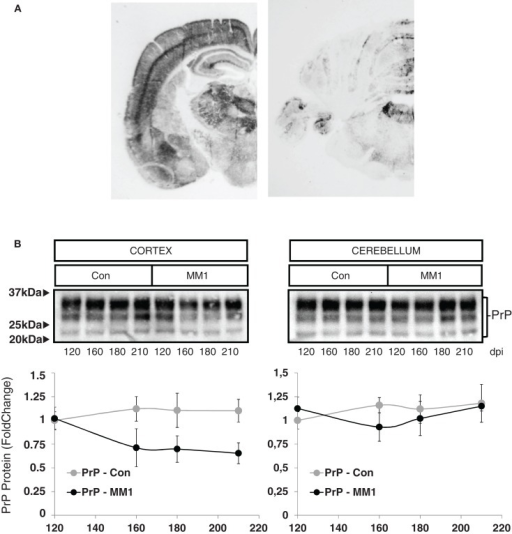 Characterization of sCJD MM1 mice is shown. (A) PrPSc distribution in inoculated animals as revealed by Pet-blot analysis at end stages of the disease. Images show PrPSc labeling in the neocortex, entorhinal cortex, amygdala, hippocampus, and thalamus, and to a lesser degree striatum, cerebellum, and dorsal midbrain. (B) PrP expression in the cortex and cerebellum of inoculated animals as revealed by Western-blot analysis. Densitometry values of three animals/time point show a significant decrease in the expression of PrP at clinical stages in the cortex of sCJD MM1 mice.