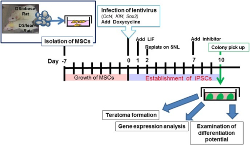 Time schedule of iPSC generation.The experiment was composed of three main processes. The first process was isolation of MSCs from the adipose tissue of either DS/obese or DS/lean rats. The second process was infection of lentivirus. The final process was the selection of iPSC colonies. The collected MSCs were cultured for about 7days. When the MSCs increased in number, we infected them with a lentiviral vector carrying three mouse reprogramming factors, and termed this time point as day 0. The MSCs were then cultured in medium for 2 days, and the cells were replated on SNL feeder cell layers. Finally, EGFP-positive riPSC colonies were picked up at day 10 and some of clones were selected for further analysis.