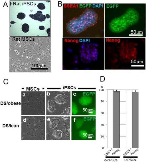 Formation of iPSC colonies.A) The ESC-like colonies were generated from rat MSCs by lentiviral transfection. These colonies were positive for alkaline phosphatase (ALP) staining (upper panel), whereas the non-transfected rat MSCs could not form any colonies (lower panel). B) Generation of riPSCs was confirmed by the expression of SSEA-1 (red) and EGFP (green in the upper panels). These riPSC colonies also expressed Nanog (red in the lower panels). C) Both MSCs derived from DS/obese (a) and DS/lean (d) rats showed a bipolar shape, while colonies of both o-riPSCs (b, c) and l-iPSCs (e, f) formed clusters expressing EGFP, showing a similar appearance to ESCs. D) The ratio of clones expressing pluripotency markers (SSEA-1 or Nanog) was demonstrated by counting the number of total pluripotency marker-positive colonies per the total number of EGFP-positive colonies. Almost all established EGFP-positive clones expressed both of pluripotency markers, respectively.