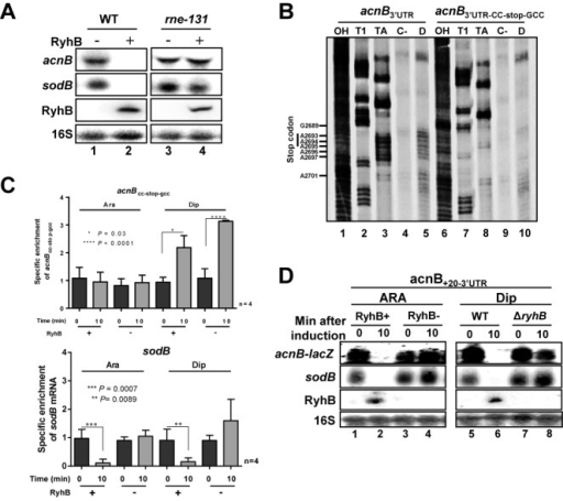 RyhB induces RNase E cleavage in acnB mRNA 3′ end. (A) Northern blot of acnB mRNA were performed on total RNA extracted from strain EM1455 and JF133 (rne131 mutant). Both stains were transformed with plasmid allowing arabinose-dependent RyhB expression (pBAD-ryhB) or with control vector (pNM12). Cells were grown in LB medium to an OD600 of 0.5 and RyhB sRNA was induced at time 0 by addition of arabinose (0.01% final). Total RNA extraction was performed after 10 min of induction. (B) RNA degradosome degradation assay to map RNase E cleavage site on acnB 3′UTR. Effect of purified RNA degradosome (0.5 ng/μl final concentration) on 32P-pCp 3′ end labeling acnB-3′UTR (lanes 4 and 5) and acnB3′UTR-CC-stop-GCC (lanes 9 and 10). (Lanes 1 and 6) NaOH ladder. (Lanes 2 and 7) RNase T1 ladder. (Lanes 3 and 8) RNase TA ladder. (Lanes 4 and 9) Radiolabeled acnB RNA alone (see Figure 3A for cleavage site map). (C) qRT-PCR of acnBCC-stop-gcc transcriptional lacZ fusion from total RNA extraction. RyhB sRNA expression was induced by addition of arabinose (0.05% final) for pGD3-ryhB (KP1135) or by addition of Dip (200 μM final) for wild-type (EM1055). Total RNA extraction was performed at the indicated time, at mid-logarithmic growth phase. Endogenous sodB mRNA levels after RyhB expression are also shown. Mean and SD values of four replicates experiments are shown. Asterisks correspond to statistical significance from one-way ANOVA test. (D) Northern blot using acnB probe showing the effect of RyhB expression on acnB+20-3′UTR-transcriptional lacZ fusion (after 10 min). Before RNA extraction, RyhB sRNA expression was induced by addition of arabinose (0.05% final) for pGD3-ryhB (KP1135) or by addition of Dip (200 μM final) for wild-type (EM1055) at time 0. Empty plasmid pGD3 or ΔryhB strains were used as negatives controls for ARA and Dip panels, respectively.