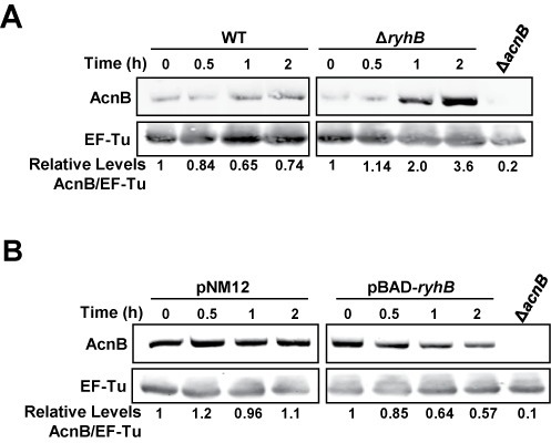 Both apo-AcnB stabilization and RyhB negative regulation affect AcnB levels. (A) Quantitative western blot of AcnB levels in Fe-depleted medium. Fe depletion was induced by addition of Dip (200 μM final) to WT (EM1055) or to ΔryhB strains (EM1238) at time 0. Total proteins were extracted at the indicated time (h). Relative densitometry levels are indicated under the lanes. (B) Quantitative western blot of AcnB levels under Fe-rich conditions when RyhB sRNA was expressed in WT strain (EM1455) from pBAD-ryhB compared with an empty plasmid pNM12 (0.01% arabinose final). Proteins were extracted at the indicated time (h). EF-Tu protein was used as a loading control in both experiments. A polyclonal anti-AcnB antibody was used for hybridization and antibody specificity was determined using a protein extract from ΔacnB strain (strain JAB284 for panel A, JAB154 for panel B). Relative densitometry levels are indicated under the lanes. A IRDye 800CW-conjugated secondary antibody was used for quantification.