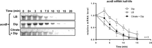 Addition of citrate, the AcnB substrate, abolishes acnB mRNA stabilization. Northern blot of acnB mRNA half-life and corresponding densitometric curves of acnB mRNA are shown. Cells (EM1238) were grown in LB medium to an OD600 of 0.5 at which point citrate (30 mM final) or Dip (200 μM final) were added at indicated time. Thereafter rifampicin (250 μg/ml) was added at time 0 and RNA extraction was performed at the indicated times. Data are representative of two independent experiments performed in triplicates.