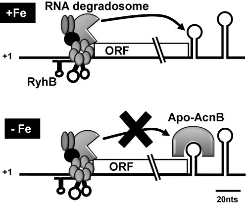 Working model of acnB mRNA double regulation by sRNA RyhB and RNA binding protein apo-AcnB (refer to the text for details).