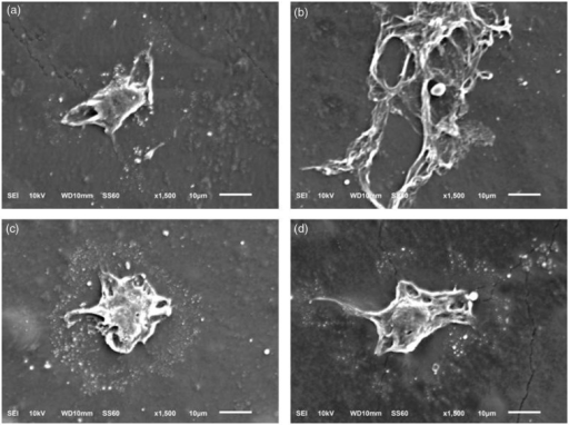 Scanning electron microscopic images illustrating morphology of MC3T3-E1 cells after being cultured on polyurethane film at day 7: (a) PU1; (b) PU2; (c) PU3; (d) PU4.