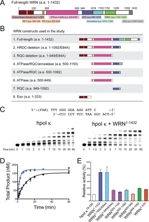 WRN stimulates hpol κ19-526 activity on undamaged DNA templates. (A) An overview of the full-length WRN protein showing domains with either structural or catalytic properties relevant to the current study. HRDC: Helicase and RNaseD C-terminal; NLS: nuclear localization signal; PIP: PCNA interacting peptide; RQC: RecQ C-terminal; the E84A mutation abrogates WRN exonuclease activity. (B) Schematic illustration of the eight WRN constructs utilized in the study. (C) DNA synthesis by hpol κ19-526 (2 nM) was monitored over time using a 13/18-mer primer-template DNA substrate (200 nM) in the absence of WRN and in the presence of full-length WRN1-1432 (100 nM). A schematic of the p/t-DNA substrate is shown above the gel results. (D) Total product formation [i.e. all of the product bands from panel (C)] was plotted as a function of time. The mean ± SEM is shown (n = 2). Product formation in each experiment was fit to a single-exponential equation [Equation (1)] to yield the following kinetic parameters: No WRN (black closed circles, •): A = 153 ± 4 nM, kobs = 0.099 ± 0.007 min−1; WRN1-1432 (blue closed squares, ): A = 171 ± 2 nM, kobs = 0.43 ± 0.01 min−1. (E) The relative activity of hpol κ in the presence of different WRN constructs is shown. Polymerase extension assays with additional WRN constructs were performed as described in panel (C). The rate constants for the total product formed were 0.43 ± 0.02 (hpol κ + WRN1-1092/E84A), 0.16 ± 0.01 (hpol κ + WRN1-949/E84A), 0.13 ± 0.01 (hpol κ + WRN500-1150), 0.18 ± 0.01 (hpol κ + WRN500-1092), 0.094 ± 0.008 (hpol κ + WRN500-949), 0.18 ± 0.01 (hpol κ + WRN949-1092) and 0.19 ± 0.01 (hpol κ + WRN1-333) nM min−1. The values reported represent the mean ± SEM (n = 2). The relative activity of hpol κ was calculated by dividing the rate constant for primer extension in the presence of the WRN construct by the rate constant for primer extension by hpol κ alone then multiplying by 100.