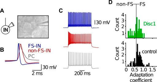 Electrophysiological characteristics of FS-INs.(A) In vitro whole-cell patch clamp recording from a FS-IN. Infrared-differential interference contrast microscopical image reveals small and round soma shape of a FS-IN surrounded by larger PC somata. (B) FS-INs can be identified by the kinetic properties of single action potentials. Shown are superimposed examples of a single action potential of a FS-IN (blue), a non-FS-IN (red), and a morphologically identified PC (grey). FS-INs fire briefer spikes than the other cell types. (C) FS-INs respond to long-lasting somatic suprathreshold current injection (1 s) with a characteristic non-adapting, high-frequency train of action potentials. Non-FS-INs and PCs show varying degrees of accomodation and/or adaptation. (D) Adaptation coefficient defined as the first interspike interval of a train divided by the last one was used to separate FS-INs (coefficient >0.6, n = 59 Disc1, 72 control cells) from non-FS-INs (<0.6). Note, FS-INs in Disc1 and control PrlC show similar adaptation coefficients.DOI:http://dx.doi.org/10.7554/eLife.04979.015