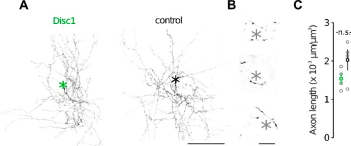 Morphological characteristics of FS-INs.(A) Axon reconstructions of FS-INs revealed dense axonal plexus. Asterisks mark som position (not shown). (B) FS-INs form perisomatic boutons on their target cells. Asterisks indicate soma positions of putative PCs. This example is depicted from a control mouse. (C) Disc1 and control FS-INs had similar total axon lengths. Data are mean ± SEM. n = 4 cells each group.DOI:http://dx.doi.org/10.7554/eLife.04979.016
