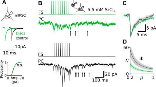 Unaltered Q at Disc1 FS-IN-to-PC synapses.(A) Recordings of mIPSCs in PCs revealed identical amplitudes in Disc1 and control cells (N = 24, 15, p = 0.388). (B) Direct recording of quantal uIPSCs at FS-IN-to-PC synapses revealed identical Q. Quantal release was evoked in pairs in an extracellular medium containing SrCl2. Quantal uIPSCs are visible as asynchronous events following a presynaptic action potential train. (C) Superimposed average quantal uIPSCs. (D) Simulation of apparent N as a function of p. As a result of the quantification of Q shown in B and C, Q was set to 11 pA in these calculations. Independent of the value of p, N at Disc1 FS-IN output synapses is always smaller than at control pairs. *p < 0.05.DOI:http://dx.doi.org/10.7554/eLife.04979.021