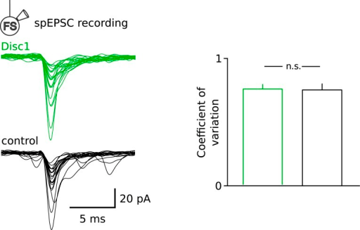 Similar fluctuation of spEPSCs at Disc1 and control FS-IN inputs.Superimposed individual spEPSCs are shown for a representative FS-IN recording in Disc1 and control PrlC slices. Note the similar variability in the amplitude of the input spEPSCs, quantified as the coefficient of variation (p = 0.596, n = 15, 9 cells).DOI:http://dx.doi.org/10.7554/eLife.04979.022