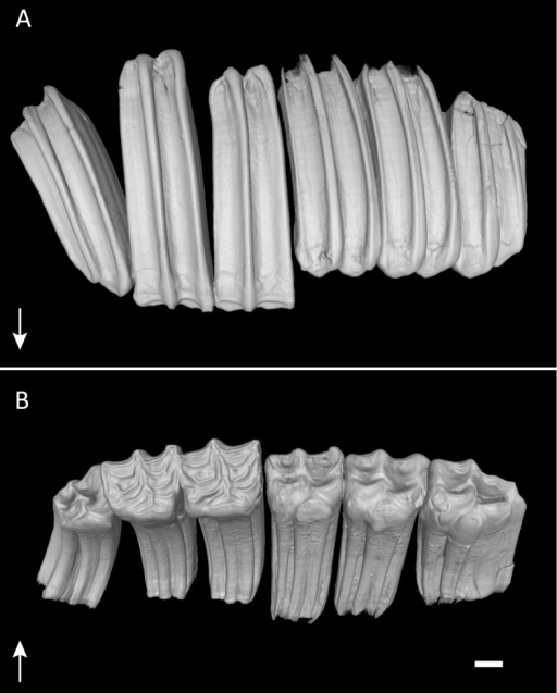 Permanent dentition of Equus quagga.Virtual 3D-model of the permanent upper right dentition of Equus quagga, no. 70335. As typical in hypsodont species, the tooth crowns are much longer than wide. Arrows point towards apical. (A) Anatomical position. Note that the caps of the deciduous premolars have been lost, but would have been present at this life stage. (B) Occlusal view. Scale bar 1 cm.