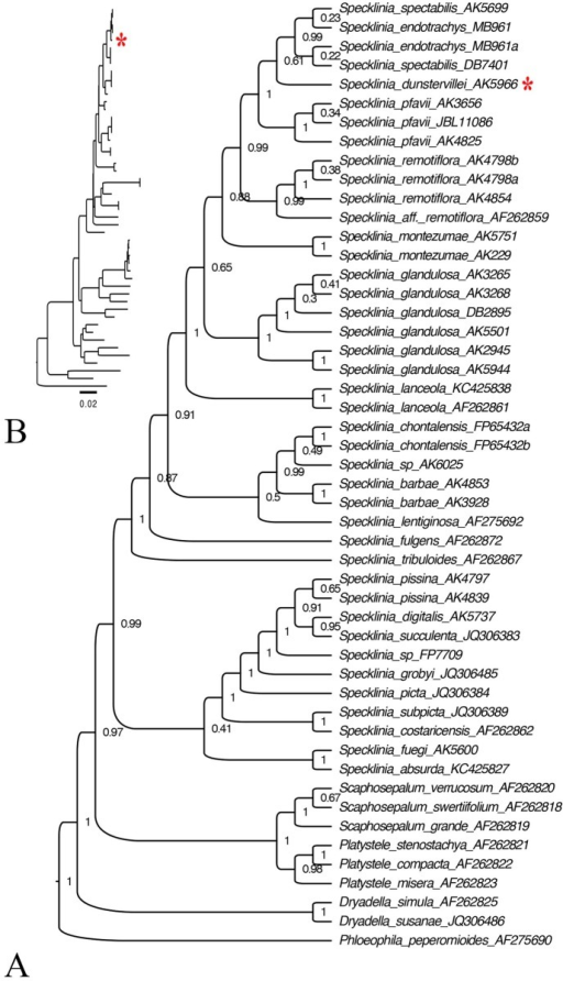 Phylogenetic relationship amongst the species of the Specklinia endotrachys complex.The trees were produced with an analysis of the nrITS dataset of 50 sequences using BEAST v1.6.0. Node values are posterior probabilities. The tree was edited using FigTree v.1.3.1. A. Tree with branches transformed to be of equal length. B. Branch lengths relative to relative number of changes.