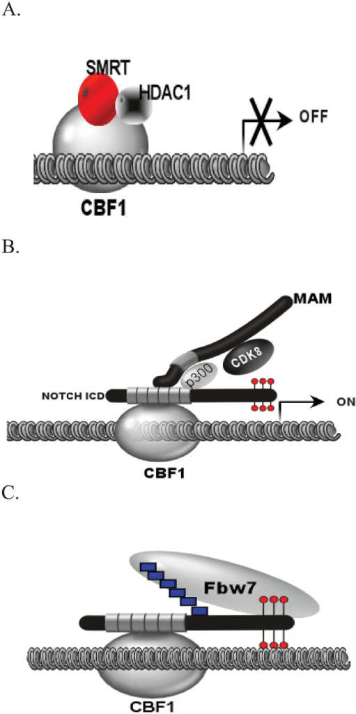 Overview of Notch Signaling in the Nucleus.(A) In the absence of the NICD, Notch target genes remain in a repressed state through interaction of CBF1 with corepressor complexes (SMRT and HDAC1). (B) Release of the NICD from the cell membrane results in nuclear translocation and recruitment of MAML1, p300, and CDK8. CDK8 phosphorylates the NICD in the PEST domain as indicated by the lollipop structures. (C) Phosphorylation is thought to recruit the ubiquitin ligase Fbw7 to poly-ubiquitinate (boxes) the NICD, thereby signaling for degradation and shut off of target gene activation.