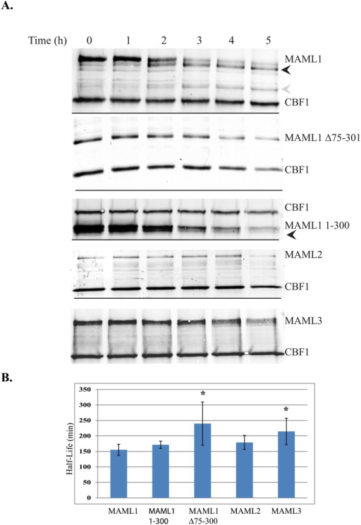 Half-life studies to MAML1-3 family members.(3A) MAML1, MAML1Δ75–301, MAML1-1-300, MAML2 or MAML3 were expressed with myc-tagged CBF1 in HeLa cells. Cells were treated with 150 μg/ml cycloheximide and cell extracts collected every hour for 5 hours. Western blots were performed to the myc-tag for the various proteins or to endogenously expressed GAPDH. Results shown are from representative blots form three different experiments. Black and gray arrowheads indicate degradation products that could be detected with time with the MAML1 and MAML1-300 constructs. (3B) ImageJ software was used to quantitate expression levels normalized to either CBF1 or GAPDH. The data is presented as the mean ± SD in bar graphs. A * indicates significantly different compared to MAML1 (p<0.05).