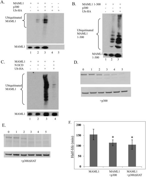 MAML1 ubiquitination is stimulated by p300 and inhibited by NICD.(A, B, C) Western blot analysis for ubiquitination of myc-tagged MAML1 or MAML1-300 was performed in the presence or absence of p300 (6A and 6B) or N1ICD (6C). MAML1 proteins and HA-Ub were expressed and immunoprecipitated as described in the text in the presence or absence of p300 or NICD. Prior to IP, a sample was taken to monitor total protein levels for MAML1. Western blots were performed to either the IP for ubiquitination or total extract was blotted as a loading control for MAML1 expression. p300 stimulated the ubiquitination of both MAML1 and MAML1 1–300 (compare lanes 2 and 3 in 6A and 6B) whereas NICD decreased the amount of ubiquitination of MAML1 (compare lanes 3 and 4 in 6C). p300 and p300ΔHAT stimulated degradation of MAML1 (6D and 6E). MAML1 was overexpressed with p300 or p300ΔHAT and pulse-chase experiments performed as previously described (See Fig 2 text). Western blots were performed and results were normalized to GAPDH levels and results are shown ± SD (n = 4). (6F) The half-life of MAML1 is significantly decreased in the presence of p300 (p = 0.025) or p300ΔHAT (p = 0.0146).
