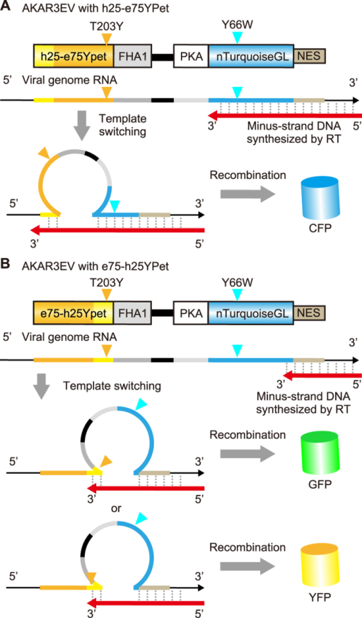 Working model for the recombination in FRET biosensors.(A) The recombination of FRET biosensors with h25-e75YPet generates CFP, which includes the critical amino acid substitution of Y66W from GFP. (B) The recombination of FRET biosensors with e75-h25YPet generates GFP or YFP, which includes the critical amino acid substitution of T203Y from GFP.