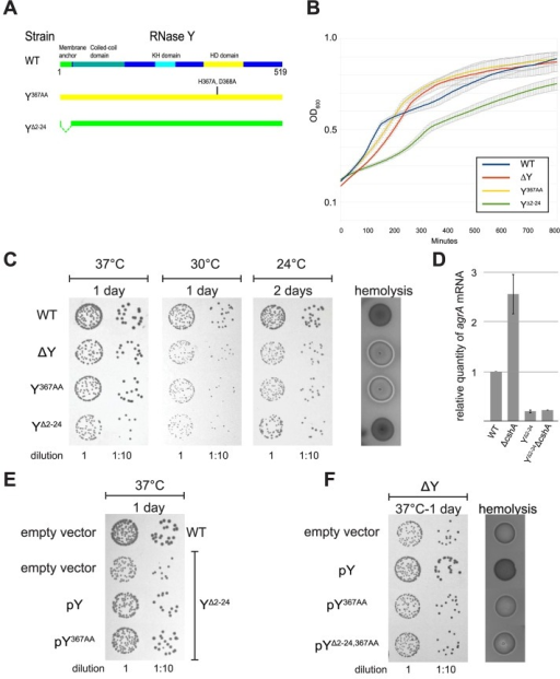 Removal of the membrane anchor enables RNase Y to suppress the phenotypes of a ΔcshA mutant.(A) In the left panel, over-night cultures of single mutants ΔcshA, ΔY and YΔ2–24 and double mutants ΔYΔcshA and YΔ2–24ΔcshA were diluted, spotted on agar-plates, and incubated at the indicated temperatures and times. In the right panel, over-night cultures were spotted on horse-blood-agar. (B) Transformants of strain ΔYΔcshA with plasmids expressing variants of RNase Y were selected at 42°C, then restreaked and grown over night at 42°C. Finally the cultures were diluted and spotted at the indicated temperatures. ΔYΔcshA with pYΔ2–24 grows significantly better than the other strains at 24°C. (C) Cartoon showing the four versions of RNase Y expressed from the plasmids; wild-type RNase Y (pY), anchorless RNase Y (pYΔ2–24), RNase Y active site mutant (pY367AA), and anchorless RNase Y active site mutant (pYΔ2–24,367AA). (D) The YΔ2–24ΔcshA strain was transformed with the plasmids expressing the wild-type RNase Y, Y367AA or YΔ2–24,367AA. Overnight cultures were diluted, spotted on agar-plates and incubated at the indicated temperatures for the indicated period of time. Both pY and pY367AA inhibit growth at 24°C. (E) Cartoon showing how the wild-type RNase Y and Y367AA can anchor the YΔ2–24 protein back to the membrane, via dimer-formation.