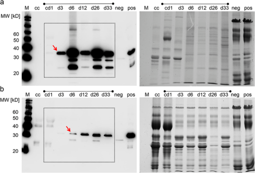 Time course of reporter expression during lactation.(a) Expression of mCherry in somatic cells and (b) skimmed milk, collected from colostrum (cd1), and at days 3, 6, 12, 26 and 33 (d3-d33) of lactation; M, size marker; cc, control colostrum from wildtype sow; neg., negative milk control; pos, positive milk control (from mCherry sow). Left immunoblot with anti-mCherry antibody, and right corresponding Coomasssie stained gel (loading control). Note that the colostrum of the transgenic sow (cd1) did not show detectable mCherry expression. In the somatic cells the mCherry signal comes up at d3 (arrow), and in the skimmed milk at day 6 (arrow). The signal intensity is normalized to the marker bands and the positive control, suggesting that the majority of mCherry is deposited in the somatic cells, and released to the skimmed milk by membrane-damaged cells.