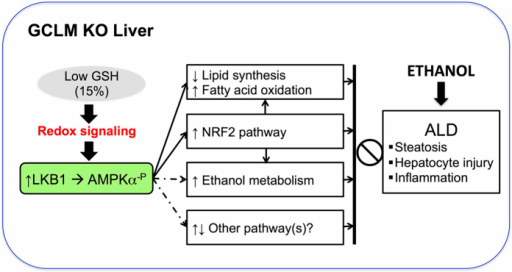 Scheme of proposed mechanisms underlying the protective phenotype of KO mice.We propose that chronic GSH depletion induces redox activation of LKB1/AMPK pathway (through phosphorylation of AMPKα subunit) that serves as a central link triggering multiple metabolic and stress response preventing ALD. These downstream pathways include (enhanced) ethanol metabolism, (suppressed) lipid synthesis and (enhanced) fatty acid oxidation, (activated) NRF2 pathway and unidentified pathways (e.g. ER stress and mitochondrial function).