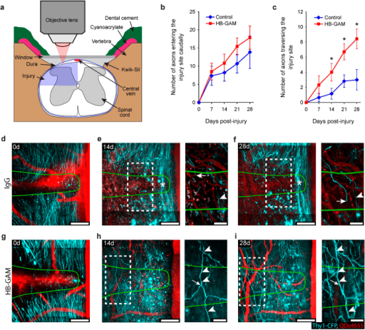HB-GAM improves axon regeneration through transection injury sites in spinal cord in vivo.(a) Experimental set-up. (b,c) Average number of axon shafts at the caudal edge of the lesion site in (b) and average number of axons that had crossed the entire rostrocaudal extent of the injury site in c over the time following IgG and HB-GAM treatment (*p < 0.05; Mann-Whitney-U test). Error bars, SEM (n = 6, controls; n = 7, HB-GAM-treated mice). (d–i) Through-depth image stacks showing sprouting of cut dorsal column axons into and across spinal cord injury sites following IgG treatment in (d–f) or HB-GAM treatment in (g–i). Caudal is up, Rostral is down. Green lines show the outlines of the injury sites as defined at 0 days. Each image is the through-depth average of multiple optical-slice images ranging from 22–35 (44–70 μm) optical slices for main images, and from 6–9 (12–18 μm) optical slices for insets. (e,f,h,i) show the same regions as shown in (d,g) respectively, at 14 and 28 days after injury. Notice the limited number of axons crossing the rostrocaudal extent of the injury site in response to IgG treatment in (e,f) compared to HB-GAM treatment in (h,i). The stars in (e,f) show region containing spared axons. Insets in (e,f,h,i) show examples of individual axons that were identified at multiple post-injury times. The arrowhead in (e,f) indicates an axon that had crossed the spinal cord injury site at 14 and 28 days. The arrow in (e,f) indicates the distal tip of the same axon within the lesion site. The arrowheads in (h,i) point to an axon that had crossed the injury site at 14 and 28 days. The arrow in (h,i) points to an axon branch located within the injury site at 14 days, but was no longer detected at 28 days. Scale bars are 100 μm for main images and in 50 μm for insets.