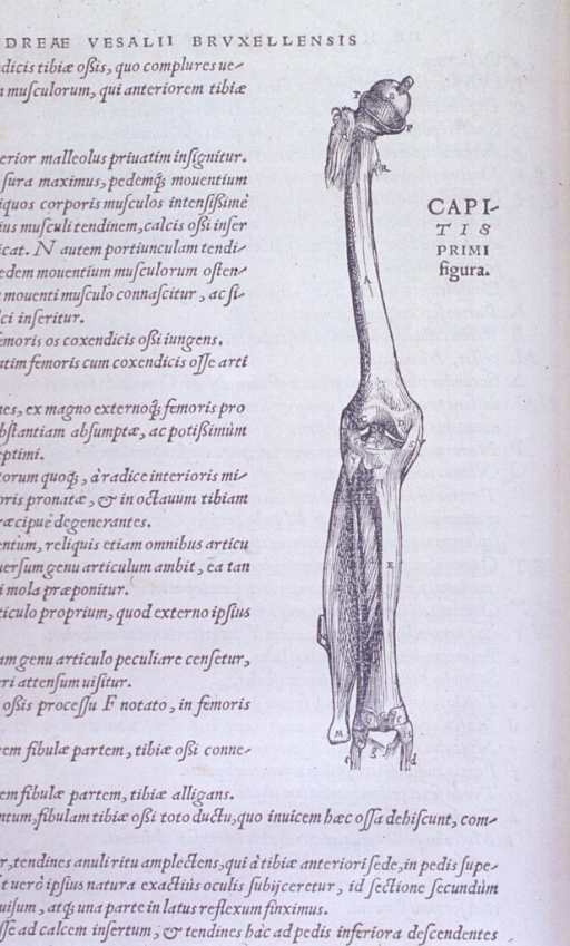 <p>Muscles of the thigh and leg.</p>